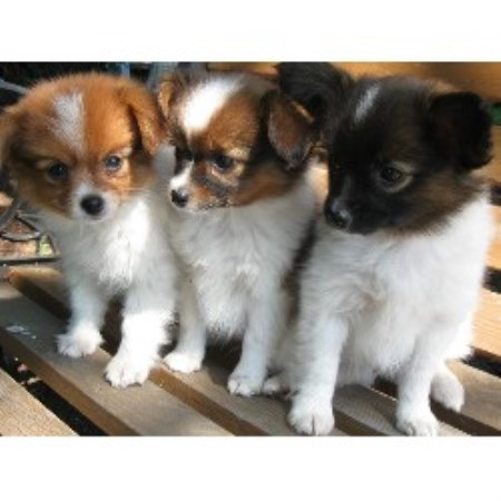 La Grande Papillons Papillon Breeder In Union Oregon