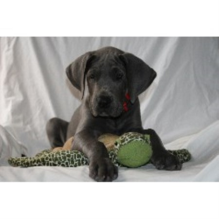 Great Dane breeder in Kissimmee , Florida