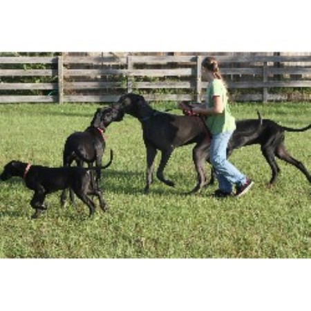 Great Dane breeder in Florida
