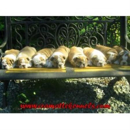 Cramatte Kennels English Bulldog Breeder In Mission