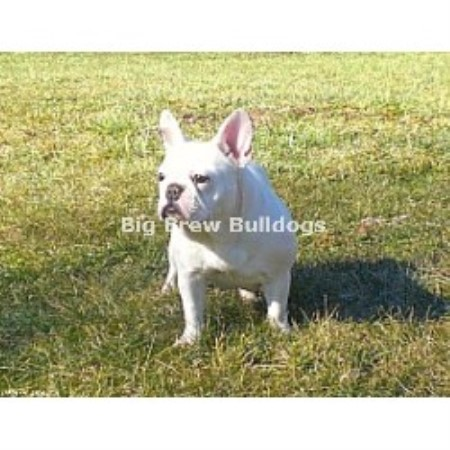 Big Brew Bulldogs, French Bulldog Breeder in Nashville, Tennessee