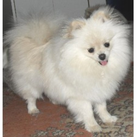 Pomeranian breeder Red Oak 15582