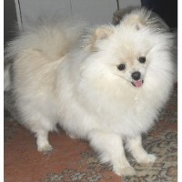 pomeranian breeders in tn search locally for pomeranian breeders nearest you 1399