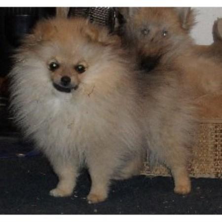 Pup P Love Pomeranian Breeder In Red Oak Texas