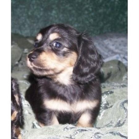 Lexi S Doxies Dachshund Breeder In Mondovi Wisconsin