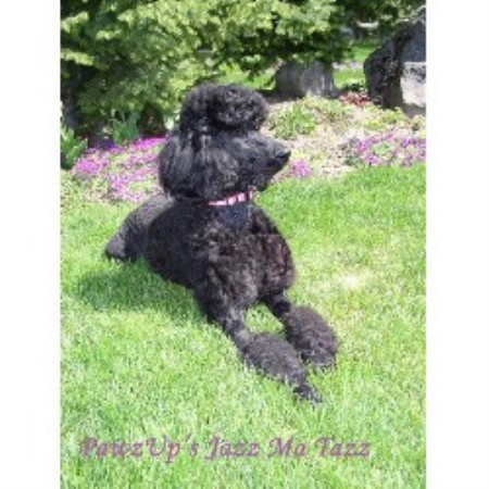 Pawzup Poodles Poodle Standard Breeder In Spokane Washington