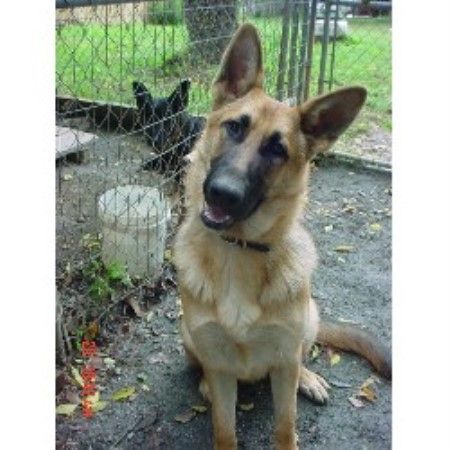 GSD,Alsatian breeder in Lawrenceville, Virginia