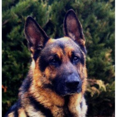 German Shepherd Dog breeder in Virginia