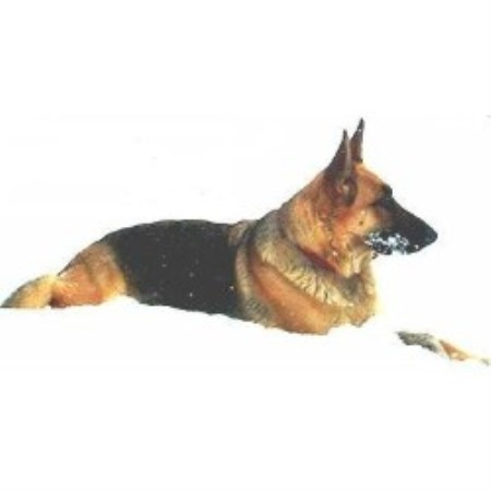 German Shepherd Dog Breeder 15656