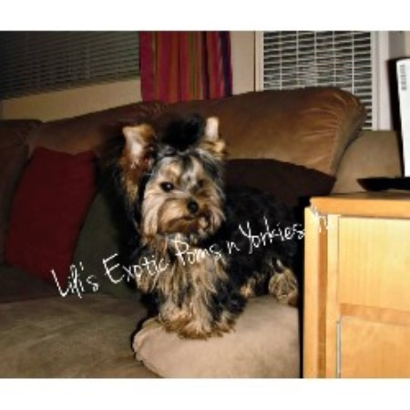Yorkie breeder in Fresno, California