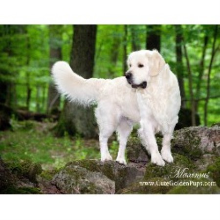 Golden Retriverers, Akc, Golden Retriever Breeder in Newton