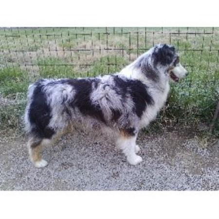 Fifteen Acre Farms, Australian Shepherd Dog Breeder in