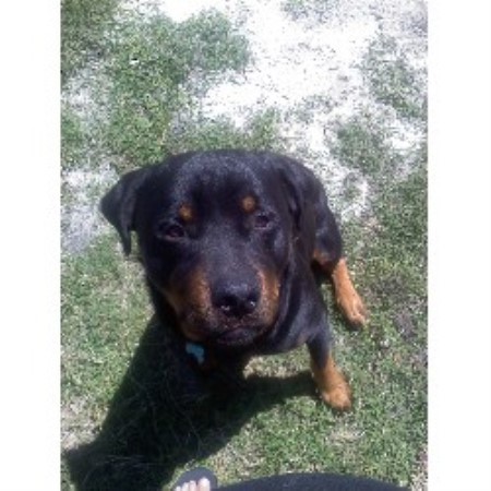 Rottweiler breeder North Port 15740