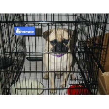 Loparr Kennel, Pug Breeder in Dunnellon, Florida