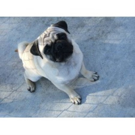 Loparr Kennel Pug Breeder In Dunnellon Florida