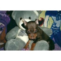 Cory - Miniature Pinscher Breeder