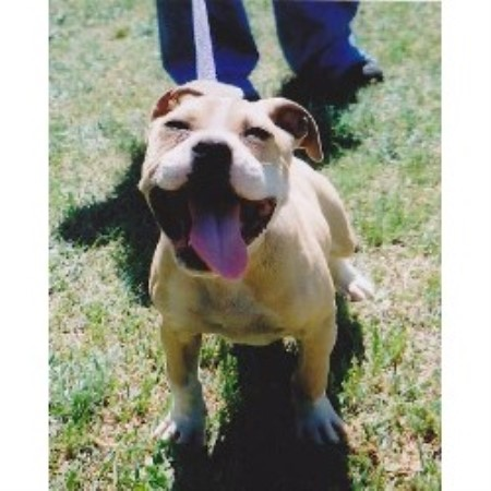 American Pit Bull Terrier breeder in South Carolina