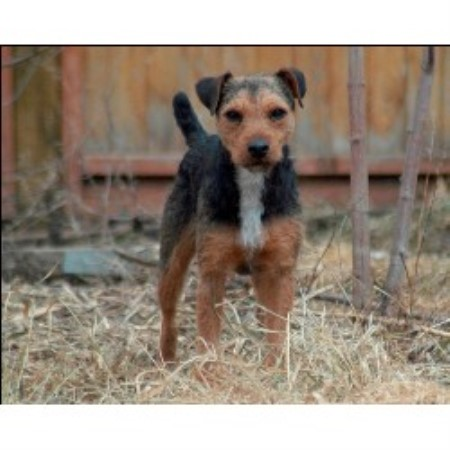 Inseguire Working Terriers Patterdale Terrier Breeder In Saskatoon