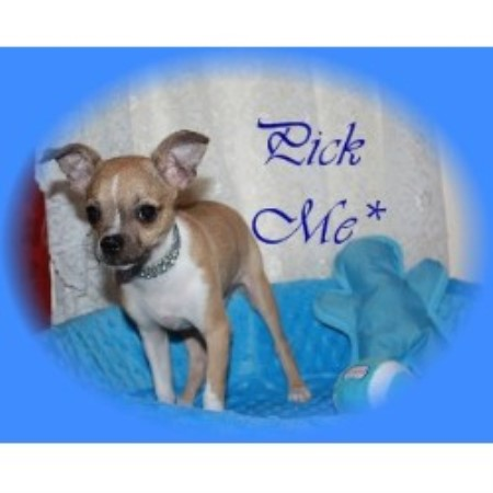 Tiny Paw Prints, Chihuahua Breeder in Mountain Home, Texas