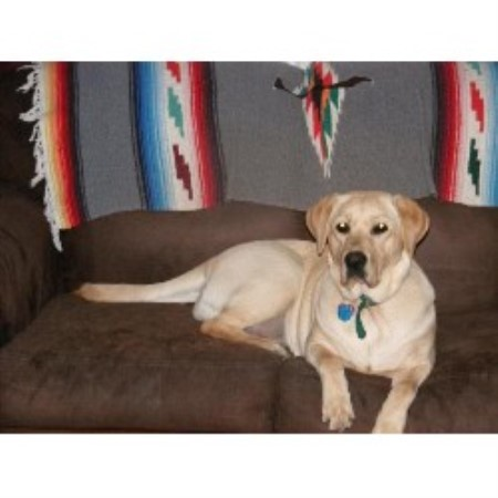 Labrador Retriever Breeder 15849