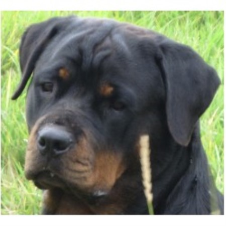 Hat Creek Registered Rottweilers Rottweiler Breeder In Strathmore Alberta