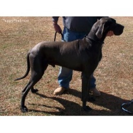 Shiloh Kennels Great Dane Breeder In Greensboro North Carolina
