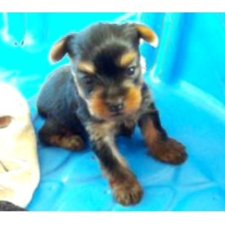 Southern Oregon Yorkies Yorkshire Terrier Breeder In White City Oregon