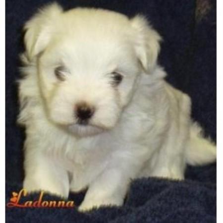 For Sale Alberta Carboncopy Maltese Dog Breeders Pomsky Picture ...