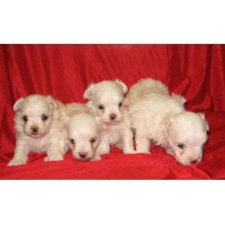 maltese puppies for sale in oklahoma whimsical pups maltese breeder in muskogee oklahoma 2277