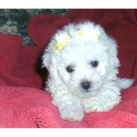 Maltipoo Puppy Rescue