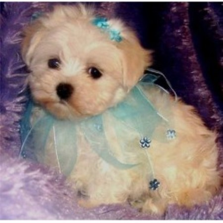 maltese puppies for sale in oklahoma whimsical pups maltese breeder in muskogee oklahoma 227