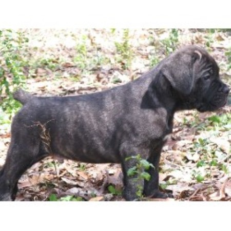 Cane Corso breedering kennel in Jacksonville