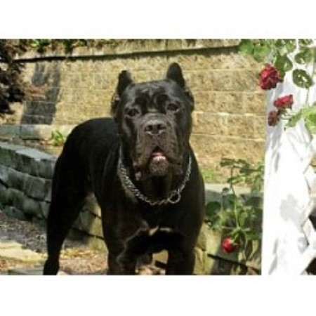 Cane Corso breeder in North Carolina