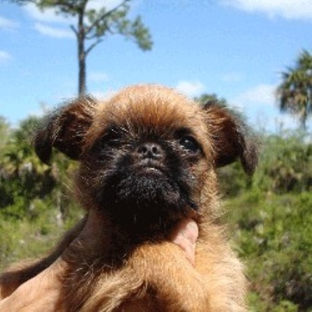 Cougar Town Kennel Brussels Griffon Breeder In Naples Florida