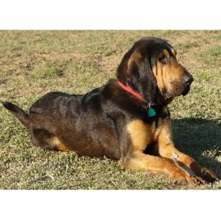 Liver And Tan Bloodhound Puppies