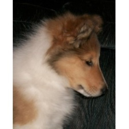 Collie breeder Durand 15992