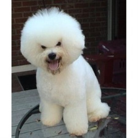 Cambea's Puppies, Bichon Frise Breeder in Clearwater, Florida