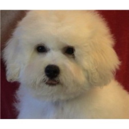 Bichon Frises for sale in all states