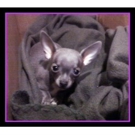 Andrews Chihuahuas Chihuahua Breeder In Medina Ohio