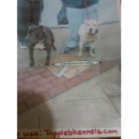 American Pit Bull Terrier breeder in New York
