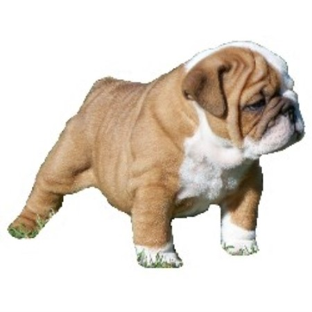 English Bulldog breeder Fort Smith 16089
