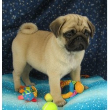 Sweet Apple Pugs, Pug Breeder in Vincent, Ohio