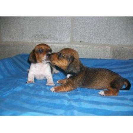 Dachshund breeder Town Creek 16160