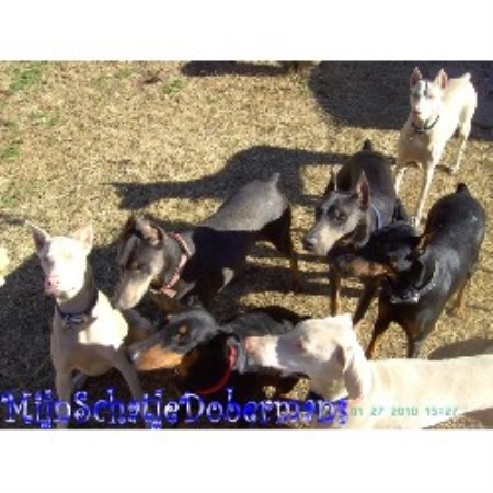 Doberman Pinscher breeder in Phenix City