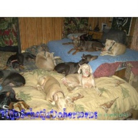 Doberman Pinscher breeder in Alabama