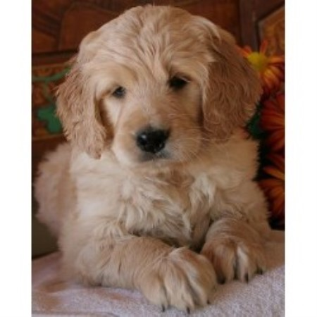 We Found Goldendoodle Breeders In the Following States and Provinces