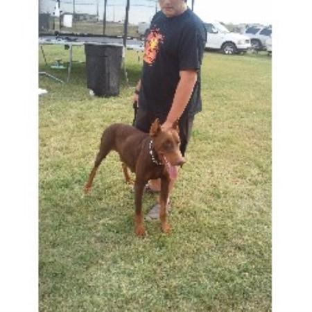 Big And Small Puppy Pets Doberman Pinscher Breeder In Joshua Texas