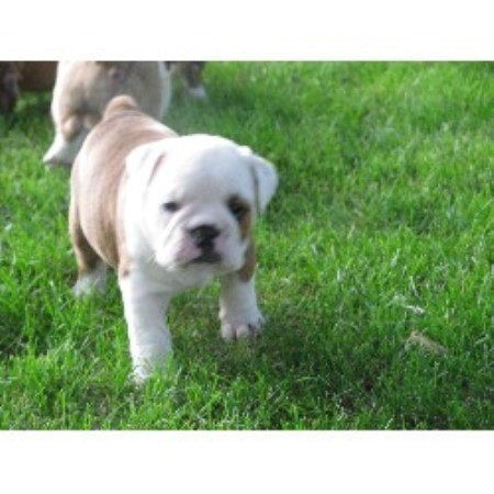 Epic English Bulldogs English Bulldog Breeder In Jeffers Minnesota