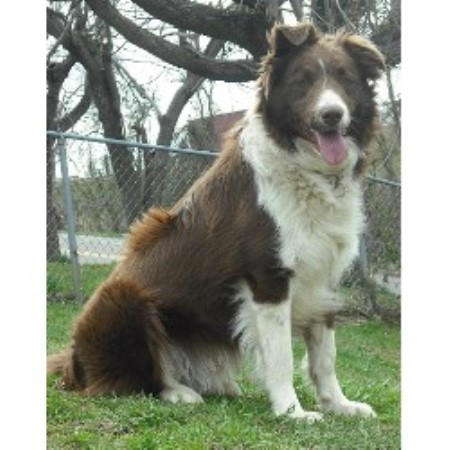 Border Collie breeder Wheelersburg 16260
