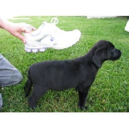 Stationone Regd Kennels Inc Labrador Retriever Breeder In